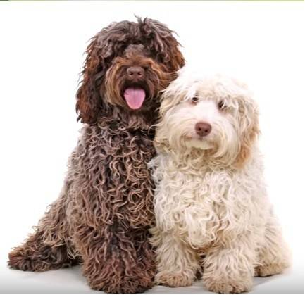 9 Signs Your Cockapoo Loves You More Than Anyone Else