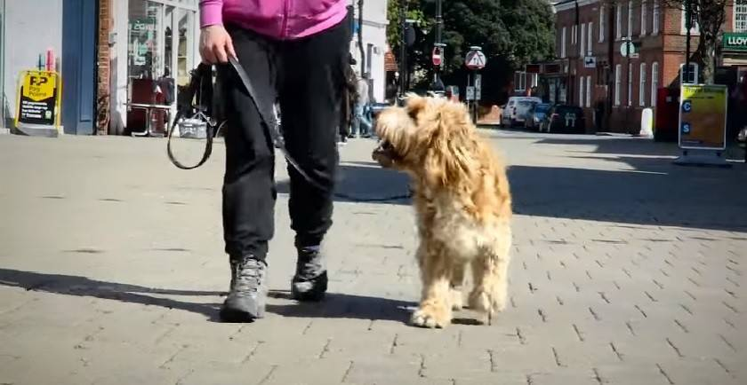 Are There Any Cockapoo Temperament Problems?