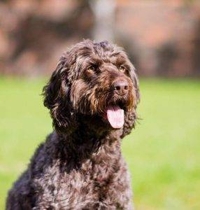 Happy Cockapoo? 8 ways your dog's body language will let you know life is good.
