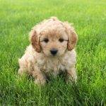 50 Of The cutest Cockapoo Puppies