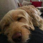50 Cockapoo's Who Love a Snooze