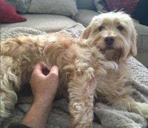 "Why Is My Cockapoo Growling? What Exactly Does ""Grrrr"" Mean?"
