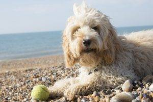 Cockapoo vs Cavachon: Which is the Best Breed For You?