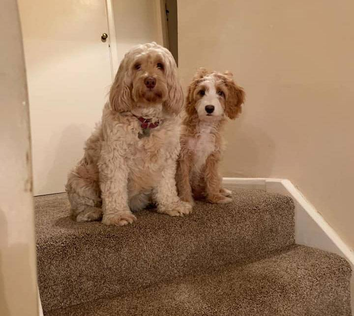 When Does A Cockapoo Stop Growing Cockapoo Hq