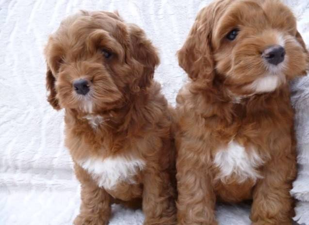 Cockapoo Puppies For Sale Uk Find A Breeder Near You