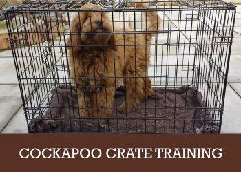 cockapoo crate training