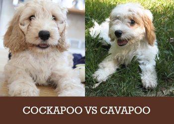 cockapoo vs cavapoo