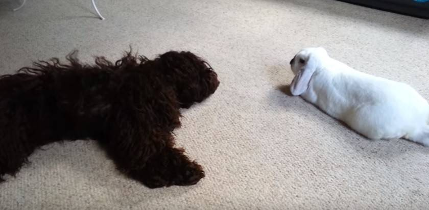Will a cockapoo get along with my pet rabbit