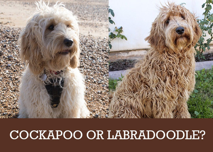 Cockapoo or Labradoodle? Which Poodle Cross Breed Is For You?