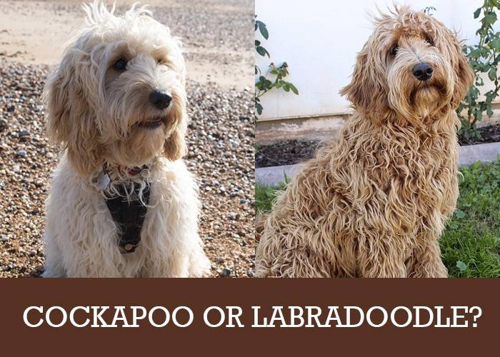 Cockapoo Or Labradoodle Which Poodle Cross Breed Is For You