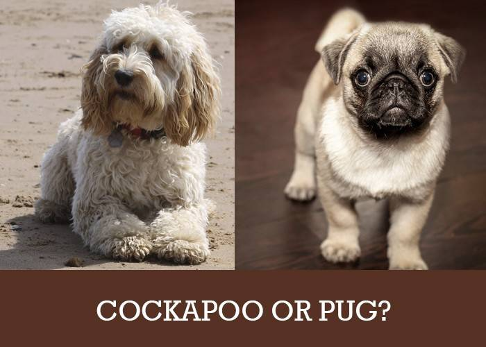 Cockapoo or Pug? Which is Perfect for Your Family