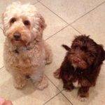 Five Signs You're Ready to Get Another Cockapoo!