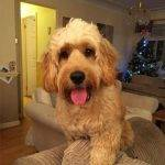 Cockapoo Owner Interview with Charlene and Cockapoo Barney