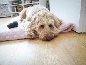 Why does my Cockapoo sleep like that? What does the sleeping position mean?