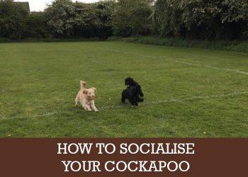cockapoo socialising
