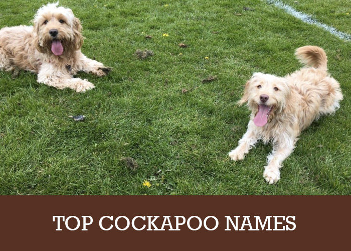 Cockapoo Names (Boys and Girls) | Cockapoo HQ