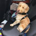 Cockapoo road trip! How to make traveling with your dog a success.