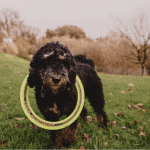 Cockapoo owner interview with Kelly and Buddy