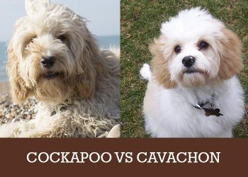 cockapoo or cavachon