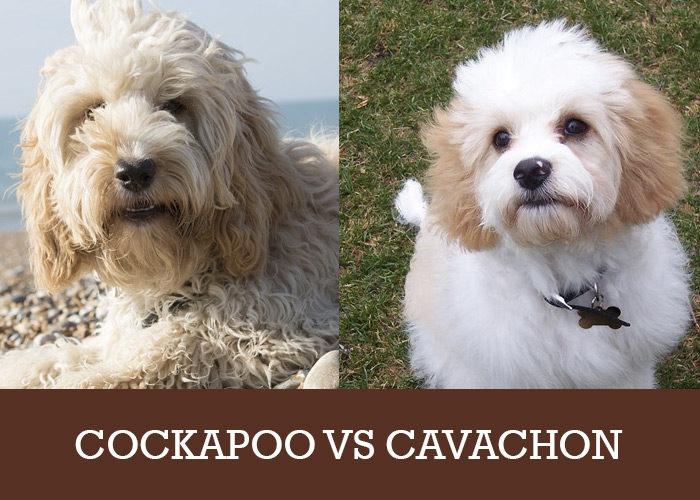 cockapoo or cavachon