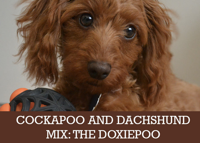 Cockapoo And Dachshund Mix The Doxiepoo Cockapoo Hq