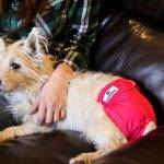 Should you use Dog Diapers?
