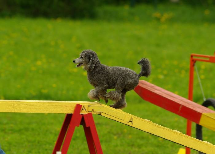 Are Cockapoos Good At Agility