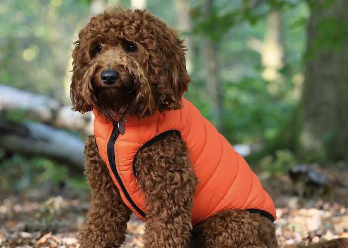 Cockapoo Jackets