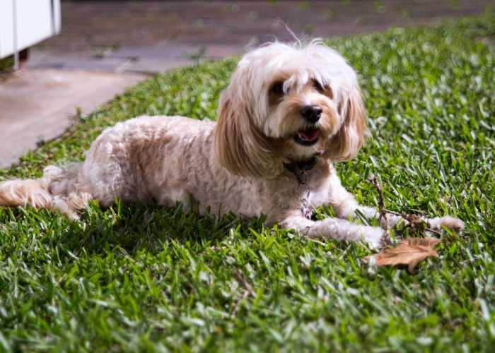 Neighbours Complaining About Your Cockapoo Barking