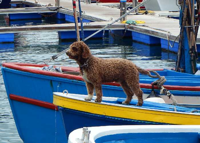 Taking Your Cockapoo On A Boat